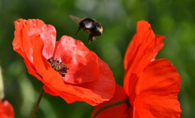 Heydon Open Gardens - poppy an